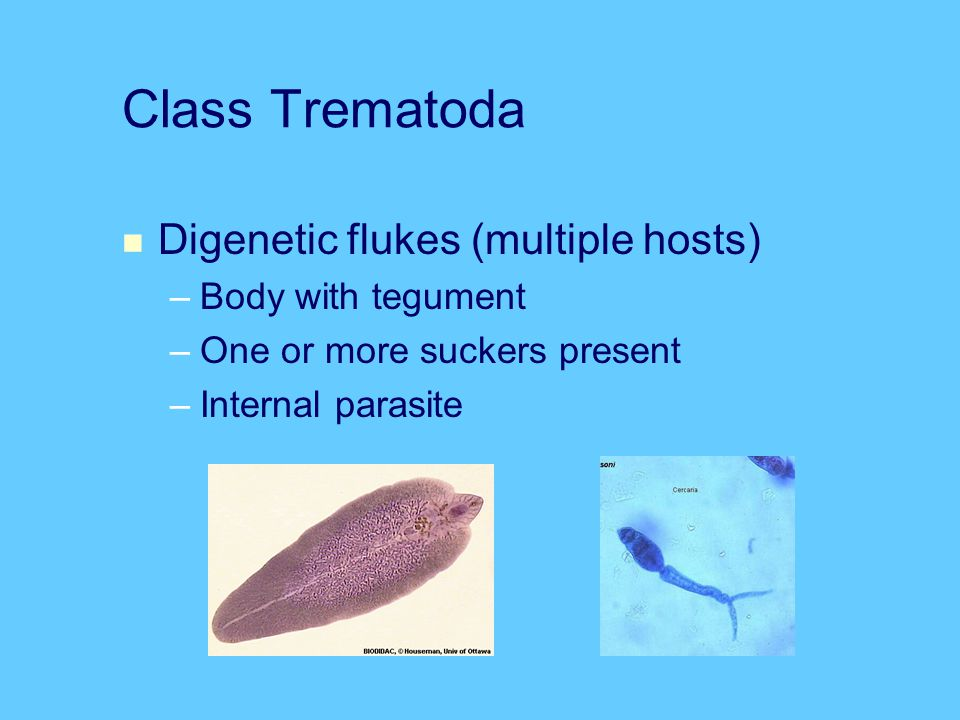 Class Trematoda Digenetic flukes (multiple hosts) Body with tegument