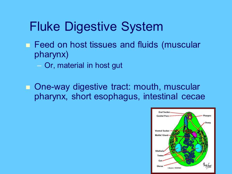 Fluke Digestive System