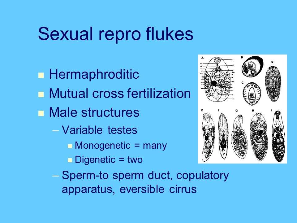 Sexual repro flukes Hermaphroditic Mutual cross fertilization