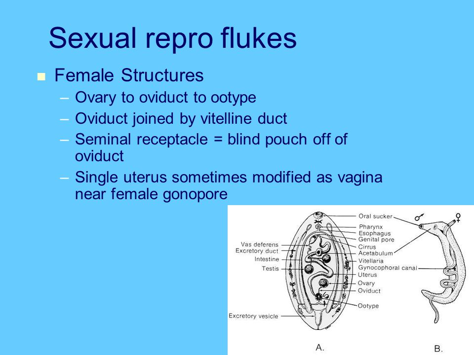 Sexual repro flukes Female Structures Ovary to oviduct to ootype