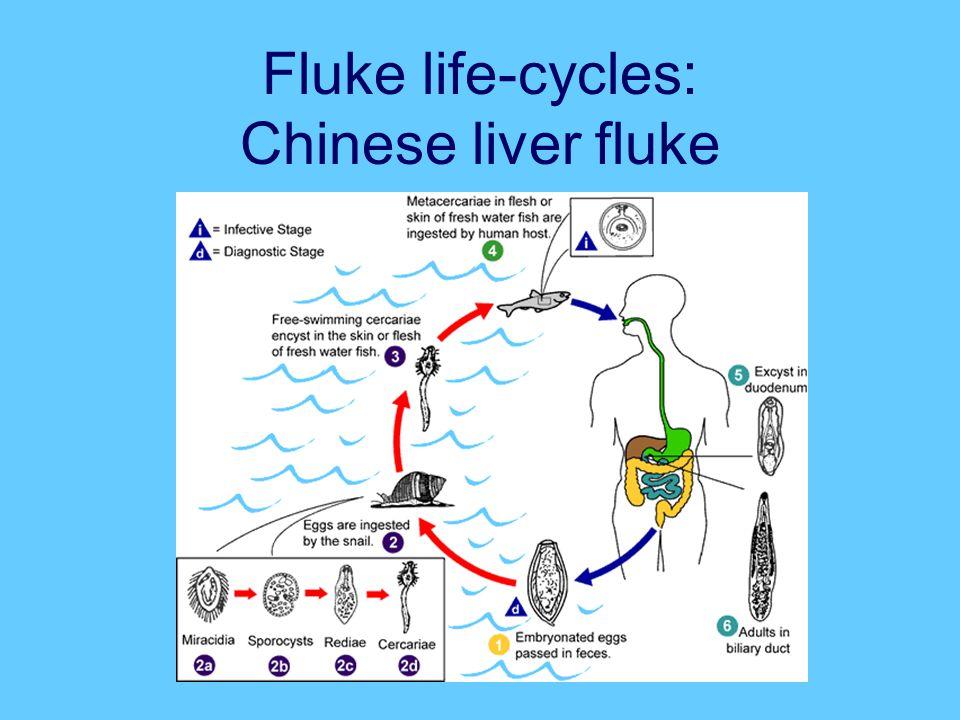 Fluke life-cycles: Chinese liver fluke