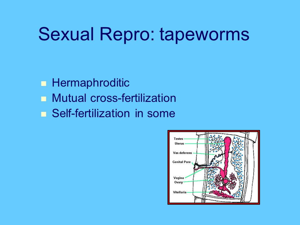 Sexual Repro: tapeworms