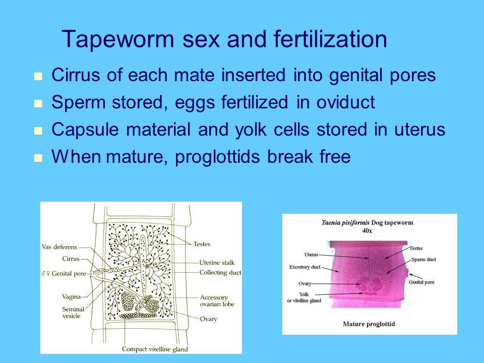 Tapeworm sex and fertilization