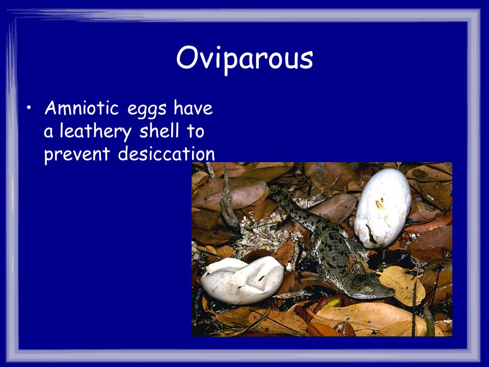 Oviparous Amniotic eggs have a leathery shell to prevent desiccation