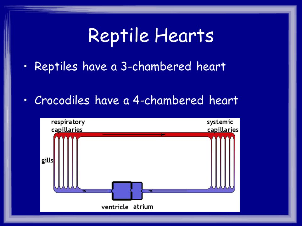 Reptile Hearts Reptiles have a 3-chambered heart