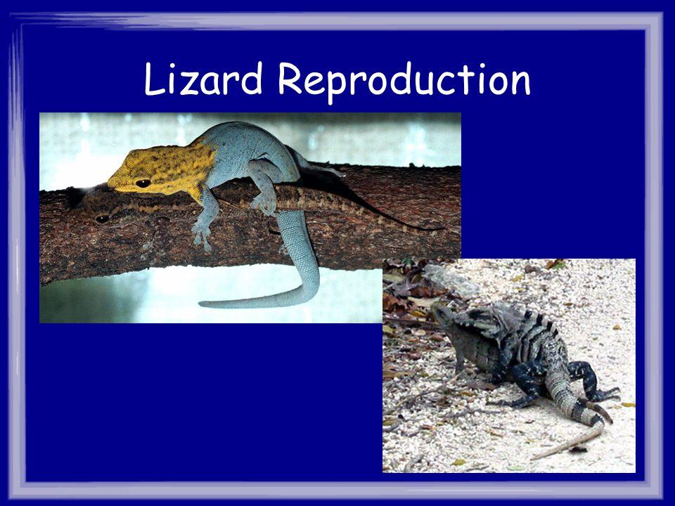 Lizard Reproduction