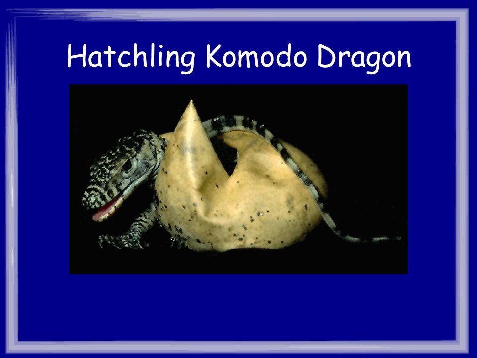 Hatchling Komodo Dragon