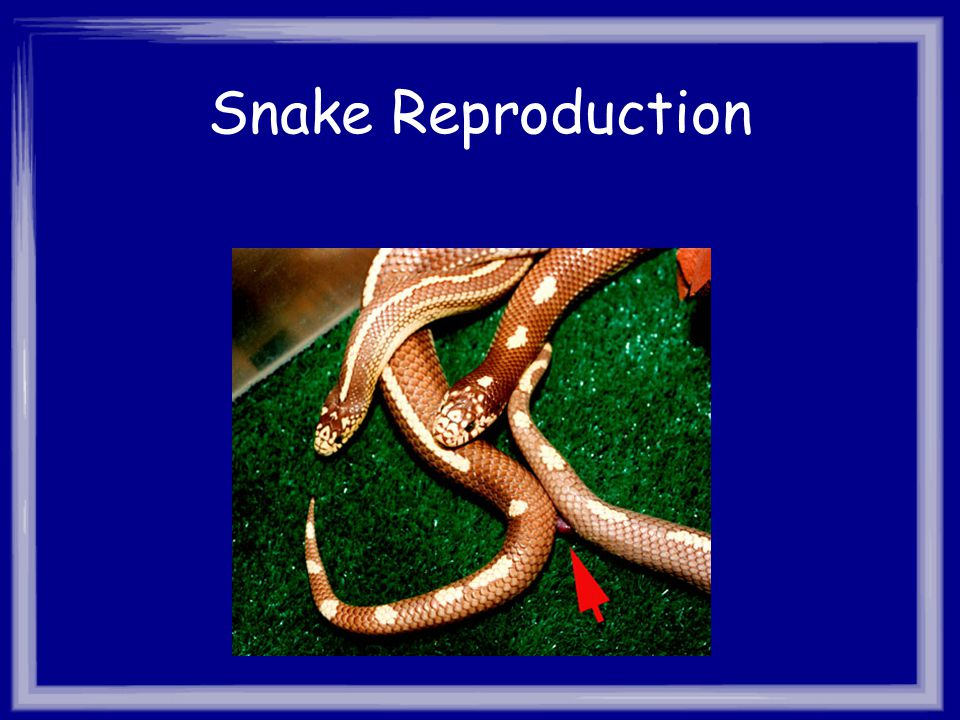 Snake Reproduction