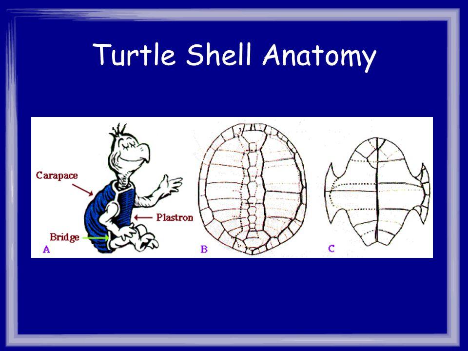 Turtle Shell Anatomy
