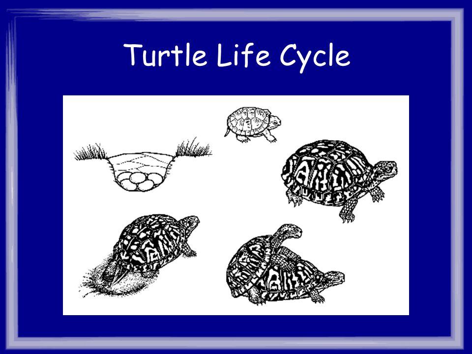 Turtle Life Cycle
