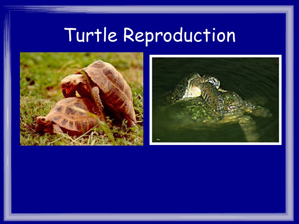 Turtle Reproduction