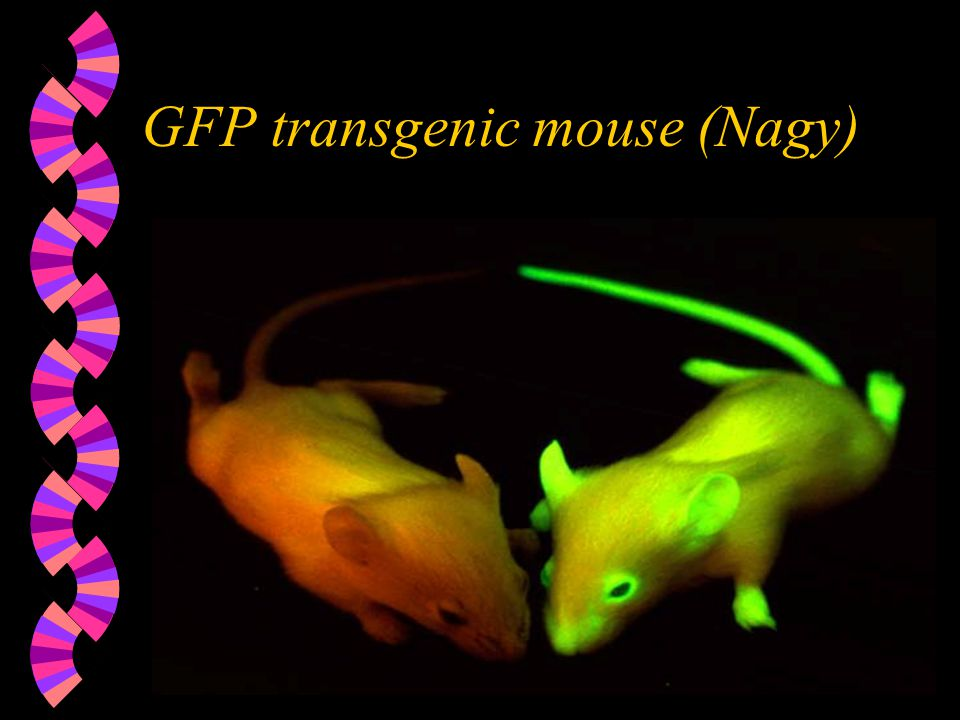 GFP transgenic mouse (Nagy)