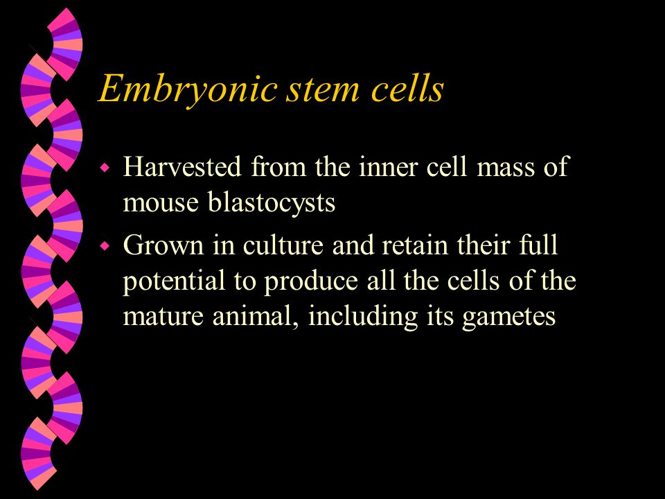Embryonic stem cells Harvested from the inner cell mass of mouse blastocysts.