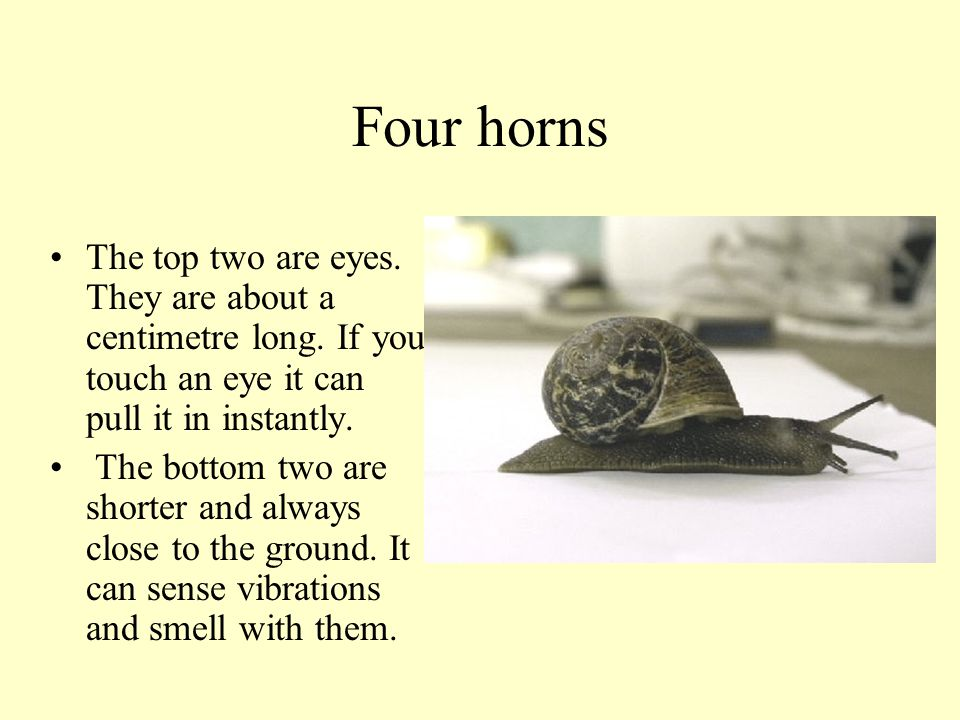 Four horns The top two are eyes. They are about a centimetre long. If you touch an eye it can pull it in instantly.