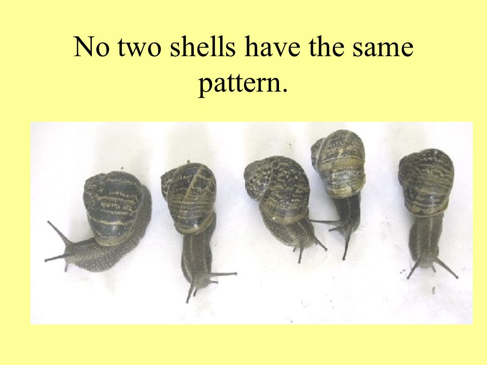 No two shells have the same pattern.