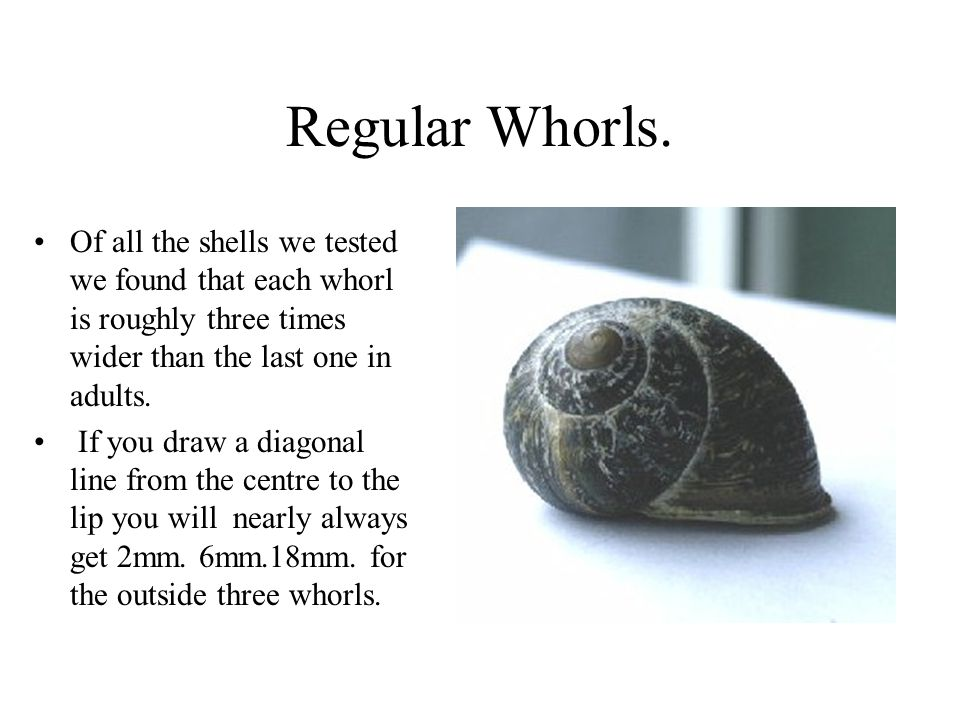 Regular Whorls. Of all the shells we tested we found that each whorl is roughly three times wider than the last one in adults.