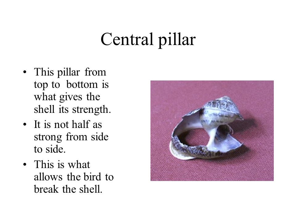 Central pillar This pillar from top to bottom is what gives the shell its strength. It is not half as strong from side to side.