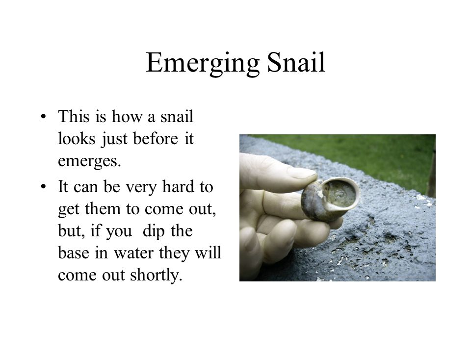 Emerging Snail This is how a snail looks just before it emerges.