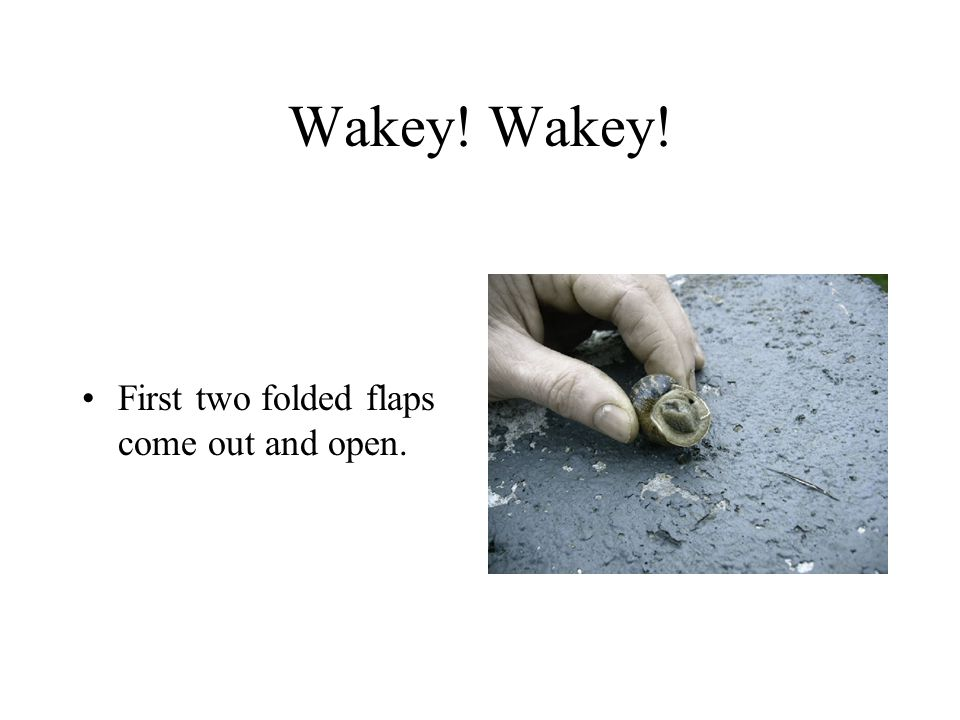 Wakey! Wakey! First two folded flaps come out and open.