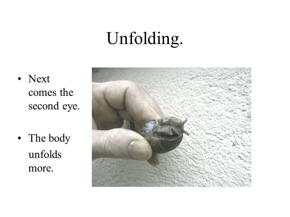 Unfolding. Next comes the second eye. The body unfolds more.