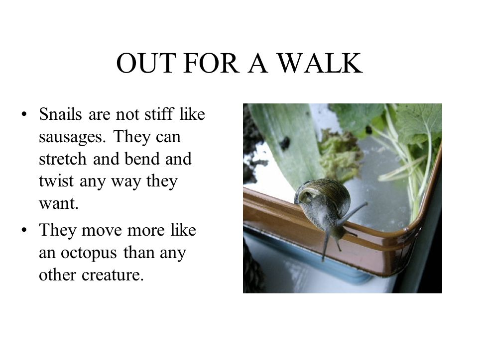 OUT FOR A WALK Snails are not stiff like sausages. They can stretch and bend and twist any way they want.