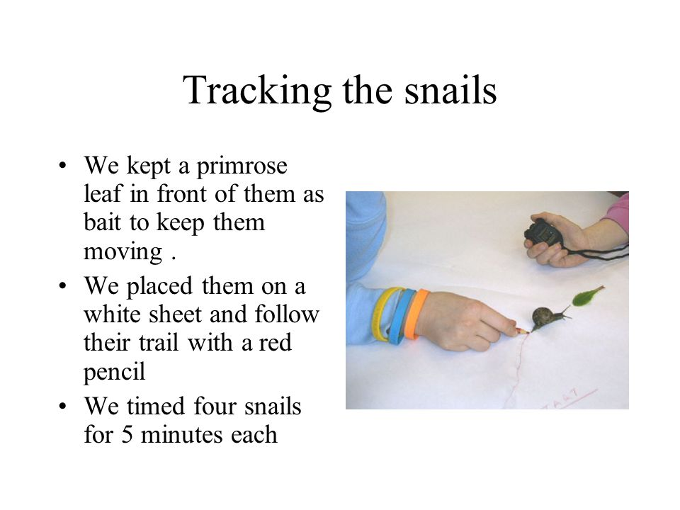 Tracking the snails We kept a primrose leaf in front of them as bait to keep them moving .