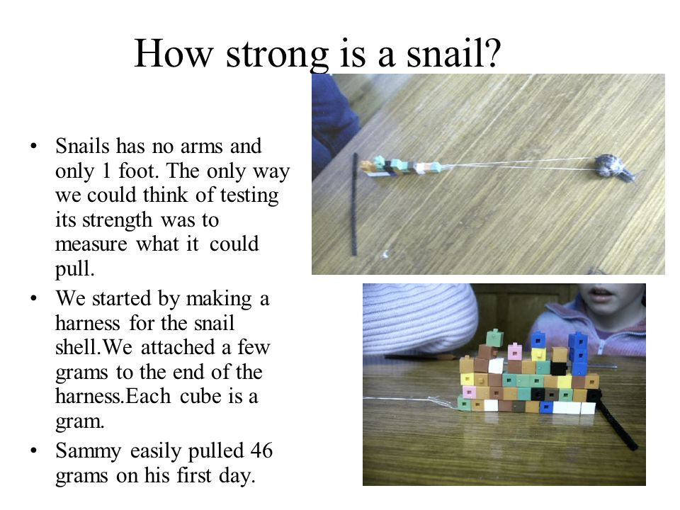 How strong is a snail Snails has no arms and only 1 foot. The only way we could think of testing its strength was to measure what it could pull.