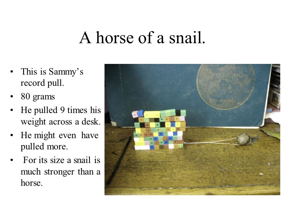A horse of a snail. This is Sammy's record pull. 80 grams