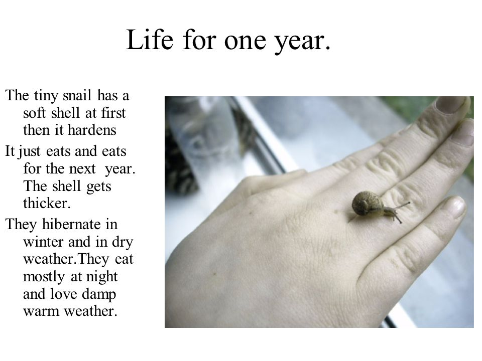 Life for one year. The tiny snail has a soft shell at first then it hardens. It just eats and eats for the next year. The shell gets thicker.