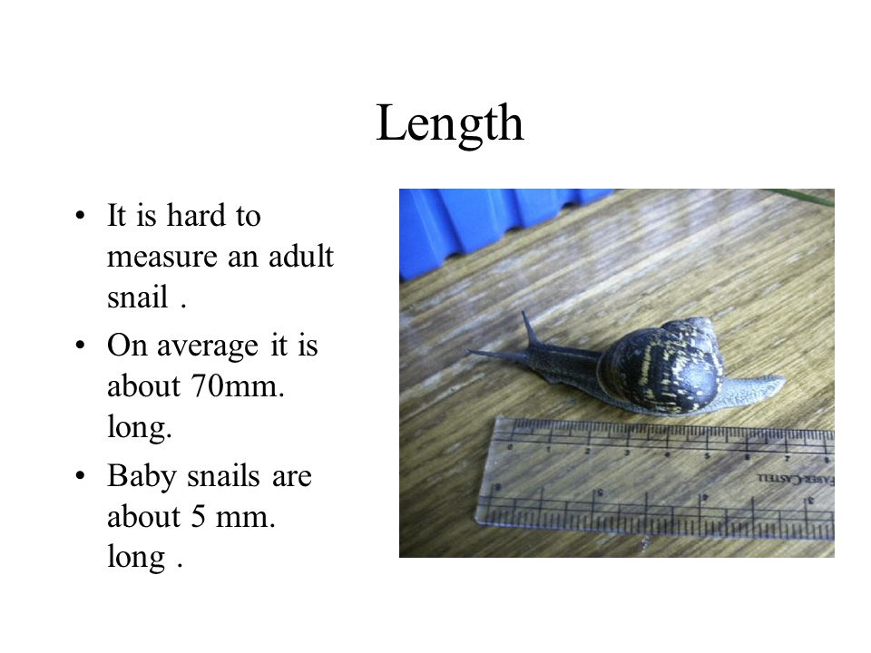 Length It is hard to measure an adult snail .