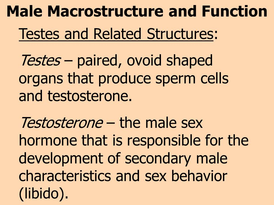 Male Macrostructure and Function