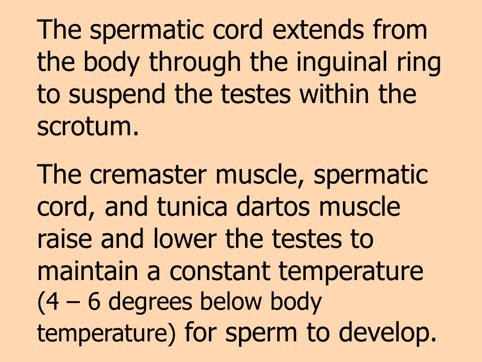 The spermatic cord extends from the body through the inguinal ring to suspend the testes within the scrotum.