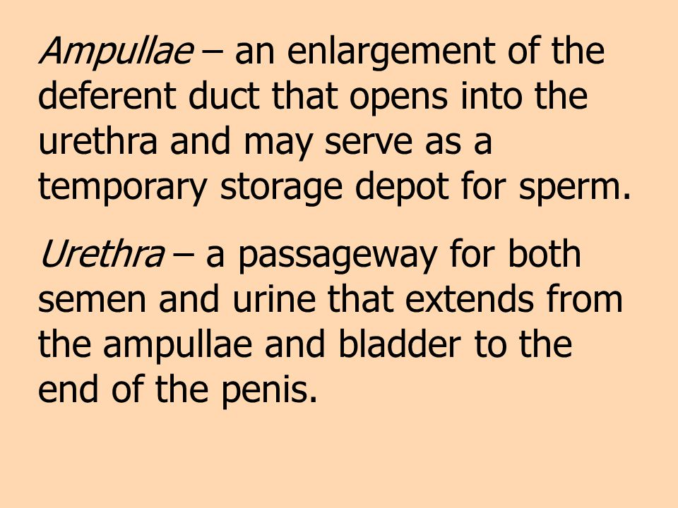 Ampullae – an enlargement of the deferent duct that opens into the urethra and may serve as a temporary storage depot for sperm.