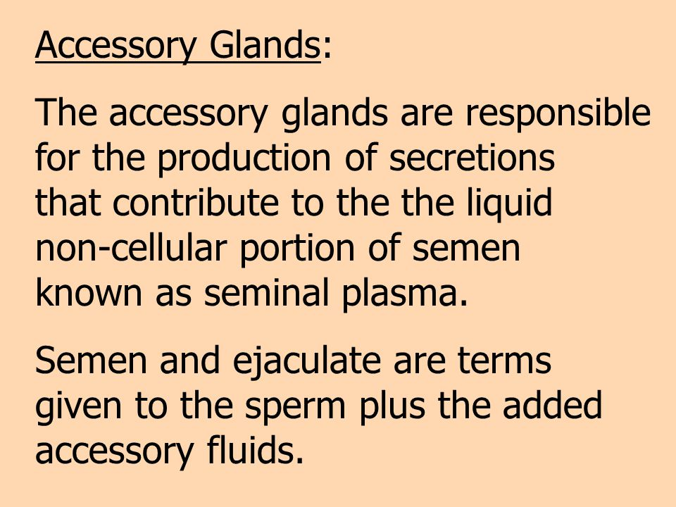 Accessory Glands: