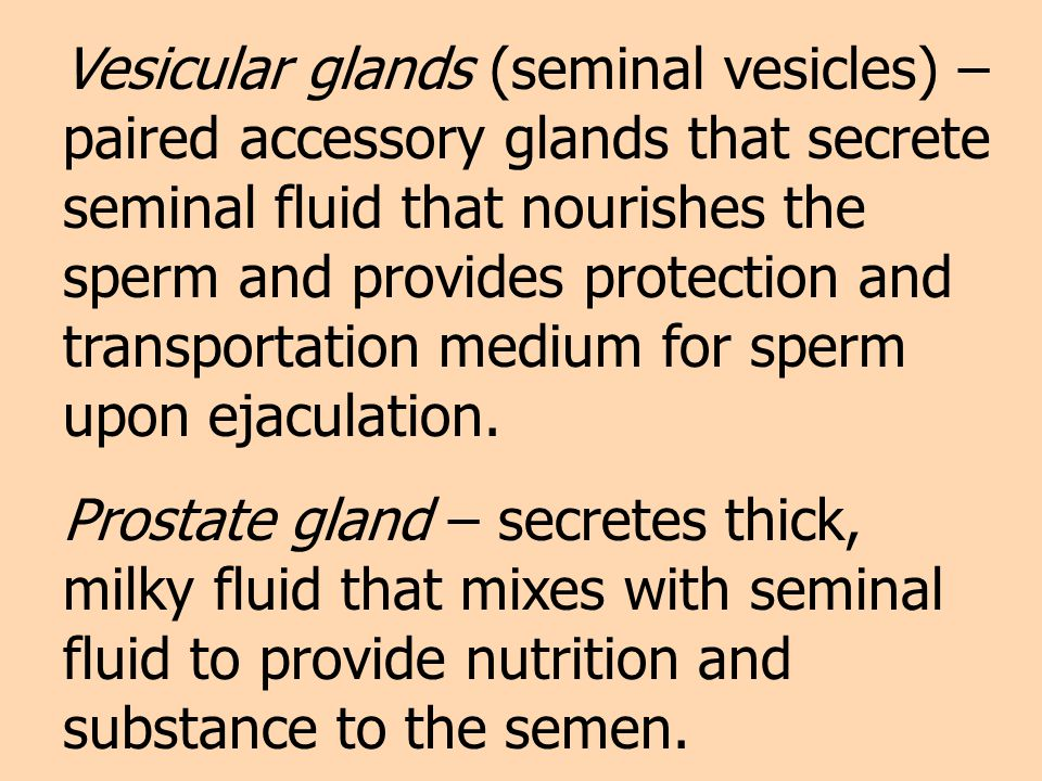 Vesicular glands (seminal vesicles) – paired accessory glands that secrete seminal fluid that nourishes the sperm and provides protection and transportation medium for sperm upon ejaculation.