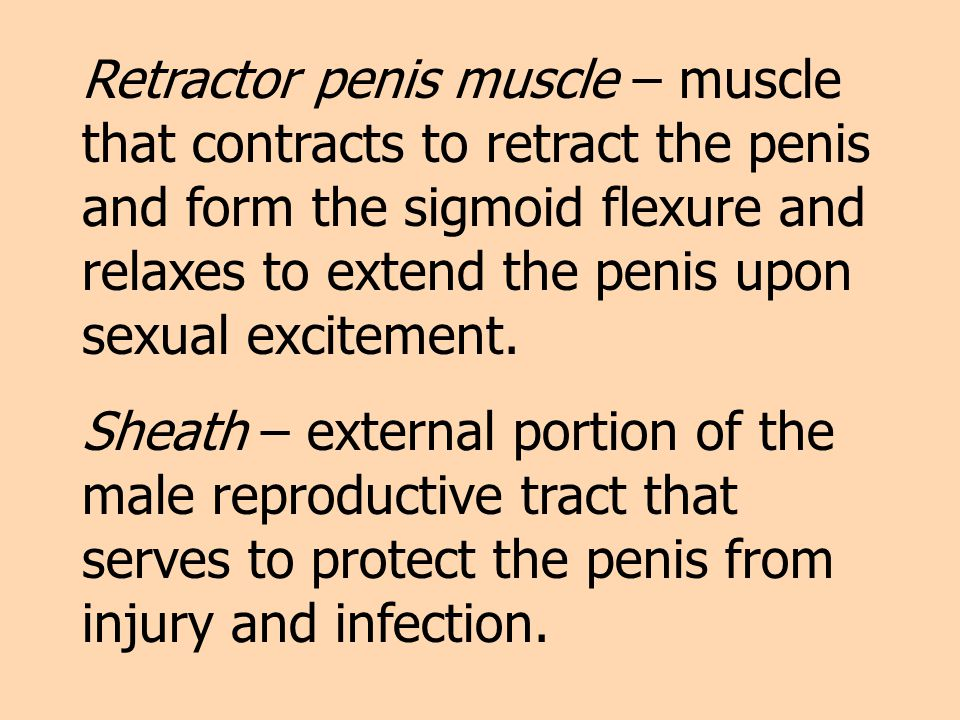 Retractor penis muscle – muscle that contracts to retract the penis and form the sigmoid flexure and relaxes to extend the penis upon sexual excitement.