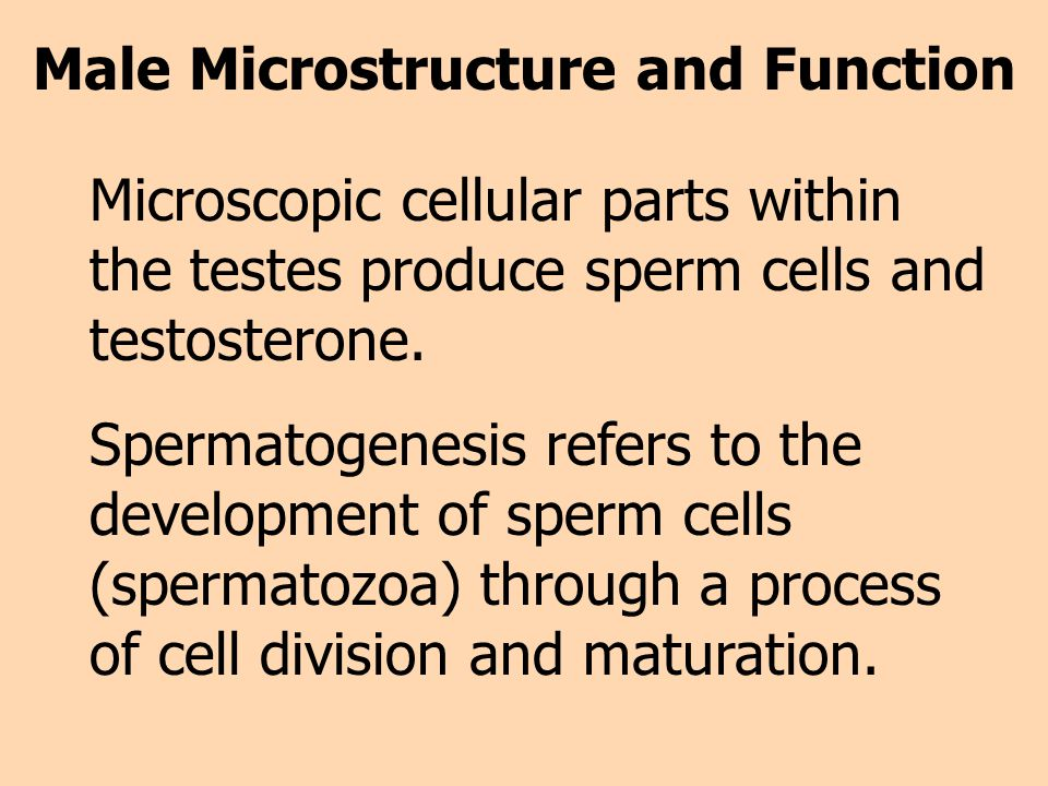 Male Microstructure and Function