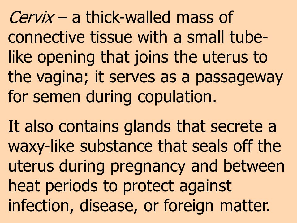 Cervix – a thick-walled mass of connective tissue with a small tube-like opening that joins the uterus to the vagina; it serves as a passageway for semen during copulation.