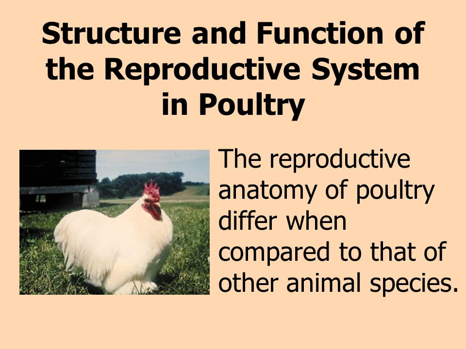 Structure and Function of the Reproductive System in Poultry