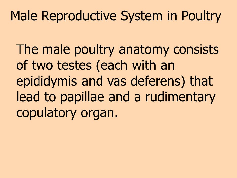 Male Reproductive System in Poultry