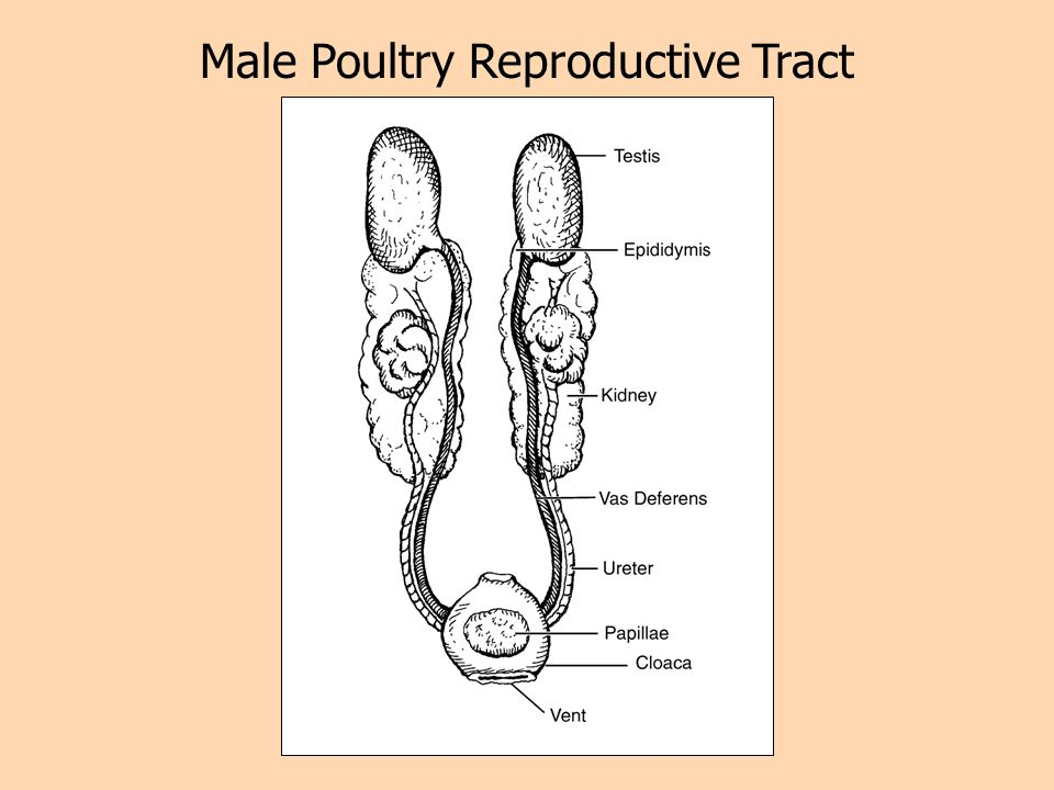 Male Poultry Reproductive Tract