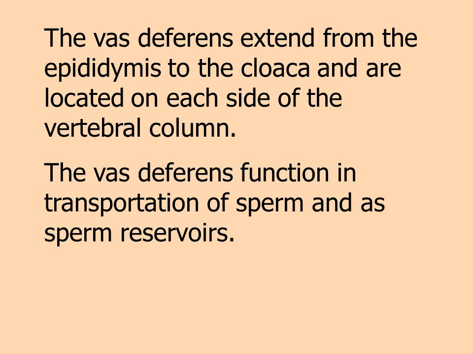 The vas deferens extend from the epididymis to the cloaca and are located on each side of the vertebral column.