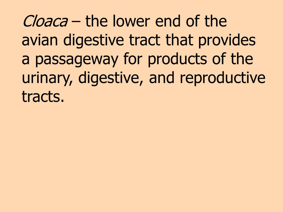 Cloaca – the lower end of the avian digestive tract that provides a passageway for products of the urinary, digestive, and reproductive tracts.