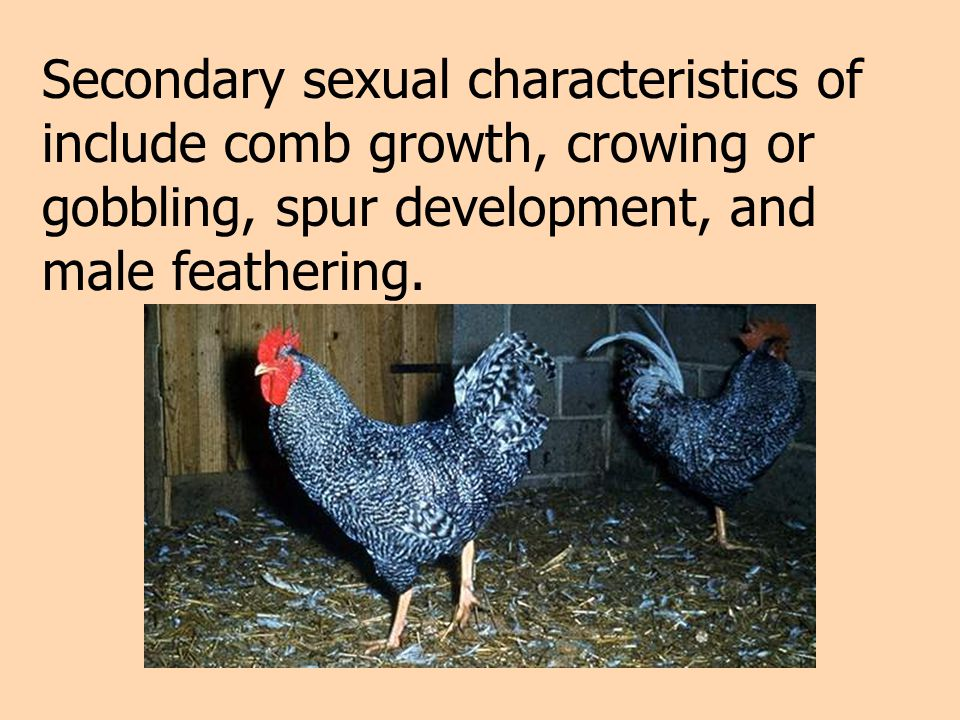 Secondary sexual characteristics of include comb growth, crowing or gobbling, spur development, and male feathering.