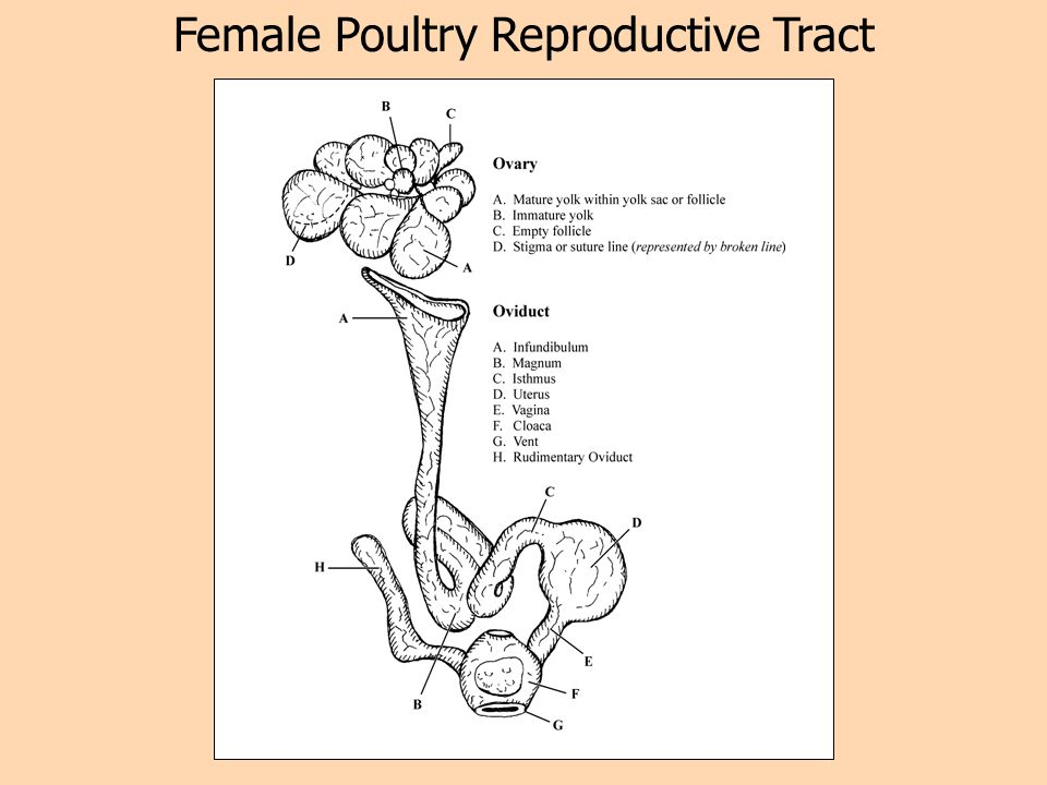 Female Poultry Reproductive Tract