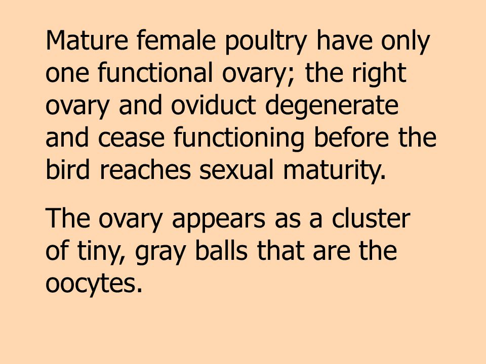 Mature female poultry have only one functional ovary; the right ovary and oviduct degenerate and cease functioning before the bird reaches sexual maturity.
