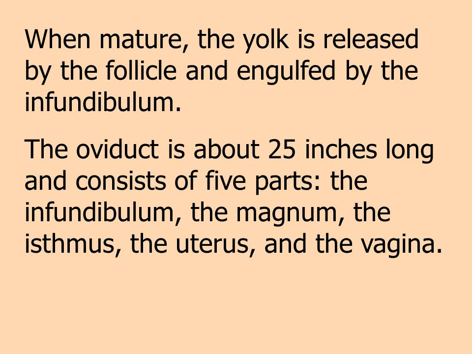 When mature, the yolk is released by the follicle and engulfed by the infundibulum.