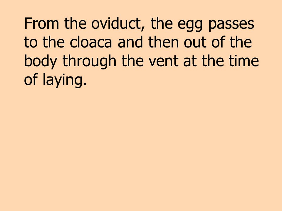 From the oviduct, the egg passes to the cloaca and then out of the body through the vent at the time of laying.