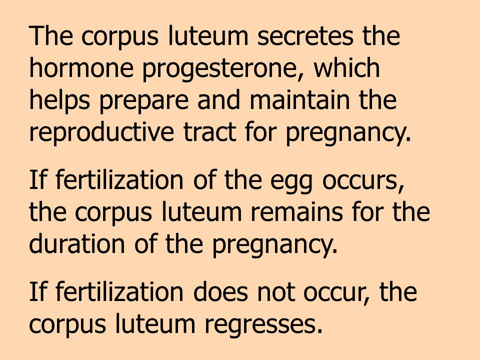 The corpus luteum secretes the hormone progesterone, which helps prepare and maintain the reproductive tract for pregnancy.