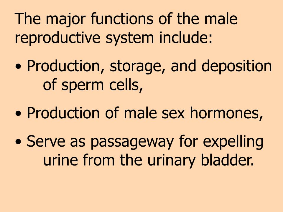 The major functions of the male reproductive system include: